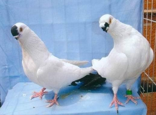 淑女种鸽肉鸽养殖场