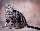 大连买猫 纯种健康美国短毛猫 自家繁殖虎斑猫幼崽 立耳虎斑猫
