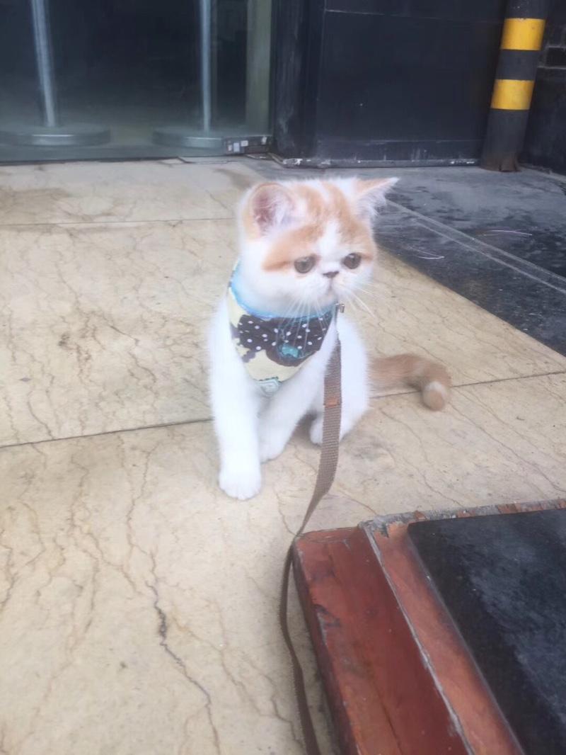 纯种赛级加菲猫,五个月,健康活泼