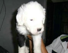 自家大狗生了一窝古代牧羊犬可以上门看狗父母
