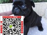 佛山巴哥犬转让什么价格 出售纯种鹰版八哥图片求购宠物狗
