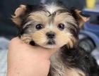 家养纯种健康金头银背约克夏幼犬 可送货有保障