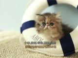 高品质波斯猫疫苗做齐猫咪超粘人出售大眼可爱小波