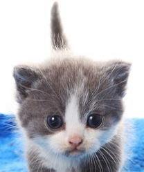泰安本地矮脚猫!!!