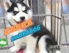 本地纯种三火双蓝眼哈士奇雪橇犬家养二哈活体宠物狗狗哈士奇幼犬