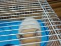 金丝熊仓鼠2只,找主人