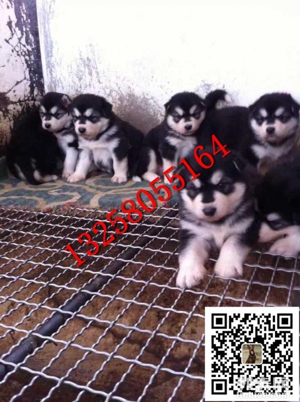 3月大阿拉斯加犬幼犬多少钱一只阿拉斯加犬价格图片