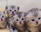 保证健康纯真银虎斑幼猫
