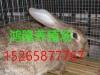 福建肉兔价格,獭兔养