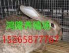 福建肉兔价格,獭兔养殖