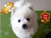 CKU联保权威认证犬