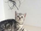 山西太原萌猫生活馆---美短小虎斑出窝找新家