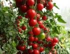 春末夏初 上海农家乐旅游 采小番茄摘黄瓜西瓜甜瓜 烧烤钓龙虾