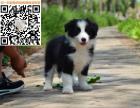最聪明的狗狗,边境牧羊犬,健康,血统,质量保证