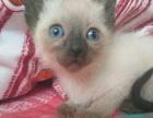 纯种家养暹罗猫两个月