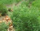 【深圳放养走地鸡】罗湖桂园笋岗翠竹南湖黄贝岭卖土鸡