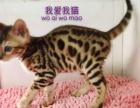 我爱我猫名猫馆纯种孟加拉豹猫出售
