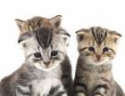 短毛猫虎斑猫 标斑美短 银虎斑 蝴蝶纹包子脸有视频