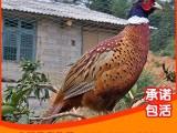 优质七彩山鸡 山鸡苗 山鸡孵化技术山鸡出售
