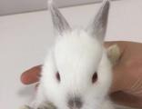 家养宠物兔活体道奇侏儒喜马拉雅侏儒暹罗侏儒垂耳兔猫猫兔。