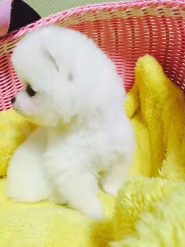白色球体博美 纯种可爱博美出售信息由列表网网友发布,其真实性及合法