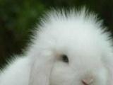 垂耳兔,宠物兔