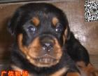 清远广信狗场出售纯种罗威那 清远哪里有卖罗威那幼犬