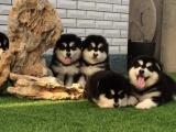 珠海本地 出售阿拉斯加幼犬 本地狗现货挑选 健康保障