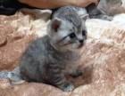 青岛哪里有美短猫虎斑加白卖纯血统萌翻你的眼球 品质保障