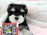 佛山雪纳瑞养殖基地求购 雪纳瑞什么价格 雪纳瑞照片宠物店