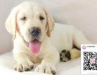 哪里有卖拉布拉多犬 出售纯种拉布拉多犬犬舍在哪里