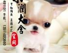 丽江哪里有卖吉娃娃犬的