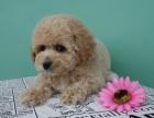 純種泰迪幼犬貴賓犬巧克力泰迪包健康可上門