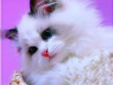 福建泉州精品双血统仙女猫多少钱能买