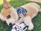 威尔士柯基犬可爱小短腿健康保养活 北京纯种柯基哪里有卖
