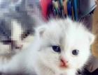 出售自家繁殖美短起司加白短毛猫、英短蓝白