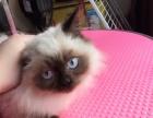 可爱温顺的布偶猫