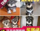 武汉出售纯种雪纳瑞犬 赠送用品上门选购 多只可挑终身保障