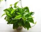 凈化空氣**植物