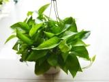 净化空气 植物