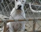 出售品种好的杜高犬 杜高犬价格