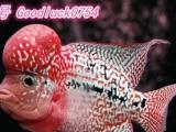 泰国罗汉鱼一手货源 罗汉鱼苗 泰国进口饲料
