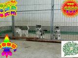 柳州哪里有卖牧羊犬 柳州牧羊犬多少钱 柳州牧羊犬图片