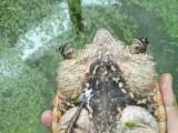 刺猬 刺猬养殖 海狸鼠