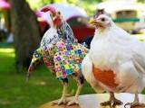 无锡观赏鸡批发 波兰观赏鸡 波兰帽子鸡 波兰鸡 活苗斑点