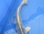 武汉纯种进口锦鲤全国发货包活品种规格齐全可进渔场选红白大正