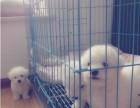 云南哪里卖比熊犬,比熊犬多少钱,哪里买狗比较好