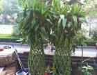 1.6米高大盆富贵竹便宜处理