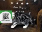 沈阳哪里卖虎斑猫 沈阳哪里有宠物店 沈阳哪里卖宠物猫便宜