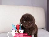 自家泰迪熊 买韩国引进茶杯体型小泰迪犬 颜色齐全